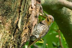 Northern Flicker - Colaptes auratus. A young Northern Flicker pokes its head out of a nest cavity being fed by its parent. Also known as a Gaffer Woodpecker royalty free stock photos