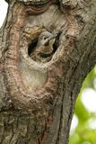 Northern Flicker - Colaptes auratus. A young Northern Flicker pokes its head out of a nest cavity in a tree. Also known as a Gaffer Woodpecker, Harry-wicket, and stock photography