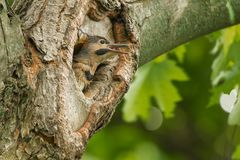 Northern Flicker - Colaptes auratus. A young Northern Flicker pokes its head out of a nest cavity in a tree calling to be fed. Also known as a Gaffer Woodpecker stock photography