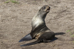 Young northern fur seal sitting on sand Royalty Free Stock Photo