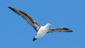 Young Northern Gannet (Morus bassanus) in flight Royalty Free Stock Photo