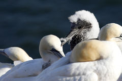 Young northern gannet / Morus bassanus Stock Image