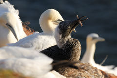 Young northern gannet / Morus bassanus playing Royalty Free Stock Photography