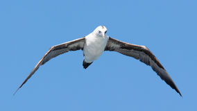 Young Northern Gannet (Morus bassanus) in flight Royalty Free Stock Photography