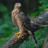 Immature Northern goshawk perched on big trunk in gloomy forest stock photos