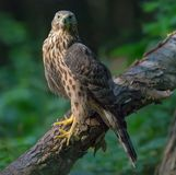 Young Northern Goshawk posing on bulky trunk while looking forward royalty free stock images