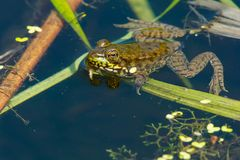 Northern Green Frog - Lithobates clamitans Royalty Free Stock Photography