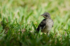 Young Northern Mockingbird Royalty Free Stock Photography