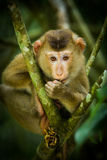 Young Northern Pig-tailed Macaque Stock Image
