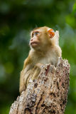 Young Northern Pig-tailed Macaque Royalty Free Stock Images
