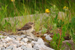 Juvenile Northern Wheatear. Young Northern Wheatear on a rubble Stock Photo
