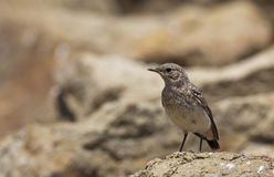 Young Northern Wheatear (Oenanthe oenanthe) Stock Photos