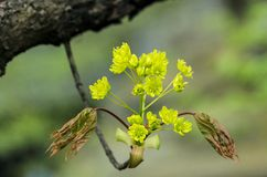 Young Norway Maple bloom Stock Photography