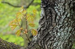 Young Norway Maple Leaves Royalty Free Stock Image