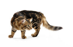 Young norwegian cat Stock Image