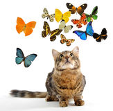 Young norwegian cat and butterfly Stock Photos
