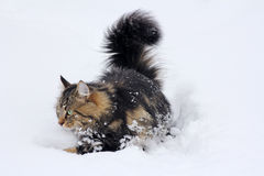 Young Norwegian forest cat in deep snow Stock Images