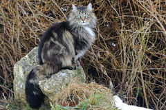 Young Norwegian forest cat sits relaxed on a stone Royalty Free Stock Photo
