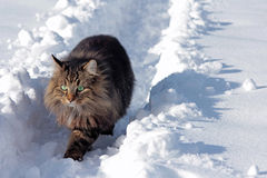 Young Norwegian Forest Cat in the snow Royalty Free Stock Photo