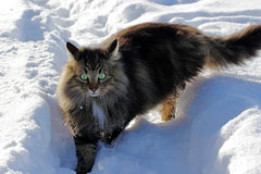 Young Norwegian Forest Cat in the snow Royalty Free Stock Images