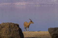 Young Nubian ibex on the Dead Sea shore, Israel. Young Female Nubian ibex on the empty Dead Sea shore, Ein Gedi Nature Reserve ,Israel Stock Images