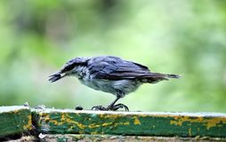 Nuthatch holds a sunflower seed in its beak Stock Images