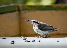 Nuthatch holds a sunflower seed in its beak Royalty Free Stock Photo