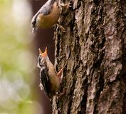 Young Nuthatche with mother Royalty Free Stock Photo