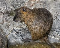 Young nutria 1 stock image