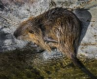 Young nutria 4. Young nutria on the board of the pool. Latin name - Myocastor coypus stock photo