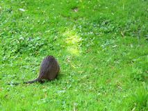 Young nutria