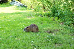 Young nutria Royalty Free Stock Images