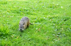 Young nutria Royalty Free Stock Photo