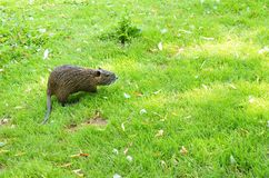 Young nutria Royalty Free Stock Photos