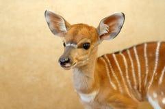 Young nyala. Chiang mai night safari Stock Images