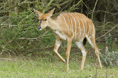 Young Nyala antelope. Walking out of some thick bush Stock Image