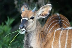 Young Nyala Antelope Stock Photos