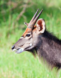 Young Nyala bull Royalty Free Stock Image