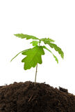 Young oak Stock Photography