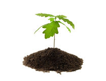 Young Oak Royalty Free Stock Image