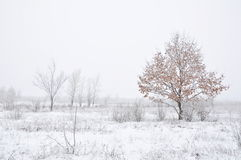 Young oak grows in winter Stock Photos