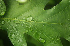 Young oak leaf with rain drops Stock Photos
