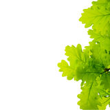 Young oak leaves Stock Image