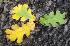 Young Oak Leaves Royalty Free Stock Photo