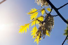 Oak tree in spring. Young oak leaves on spring branches, blue sky, forest in sunny weather Stock Photo