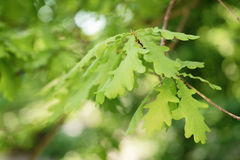 Young oak leaves in spring sunny day Stock Photography