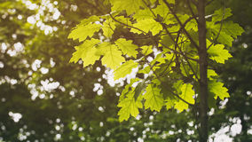 Young oak leaves in spring Royalty Free Stock Photos
