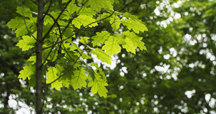Young oak leaves in summer day Stock Photo
