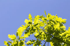 Young oak leaves sunny colorful spring background Stock Photos