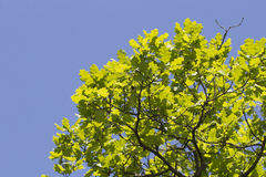 Young oak leaves sunny colorful spring background Stock Photography